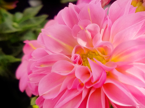 Pink Chrysanthemum Flower Photo by Sherrie Thai of Shaire Productions