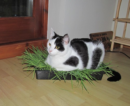 IMG_6993a Cat grass | by col-h