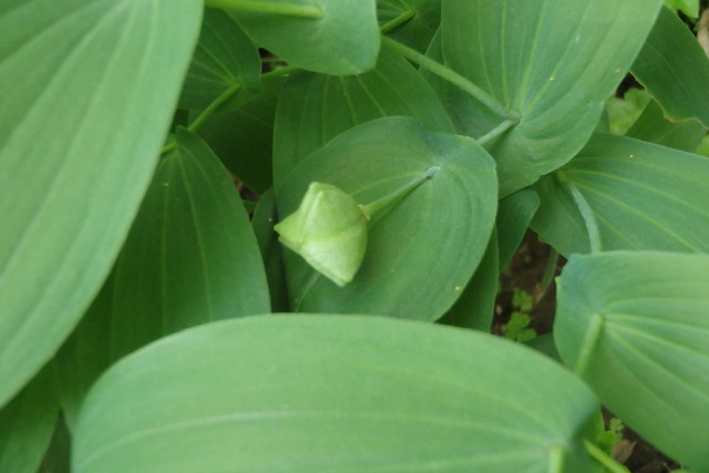 one three-segmented seed pod hanging in the middle of large green leaves