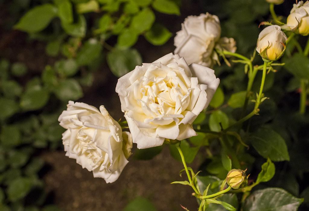 160514_03_nakanoshima_rose2016_036