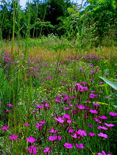 Field of Wild Meadow Pinks | by Maureclaire