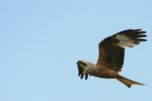 Red Kite | by Ami 211