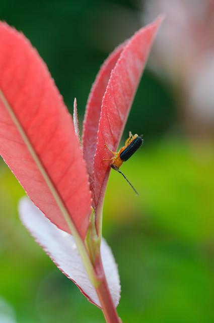 ルリカミキリ/日本梨眼天牛 [Bacchisa fortunei japonica]...