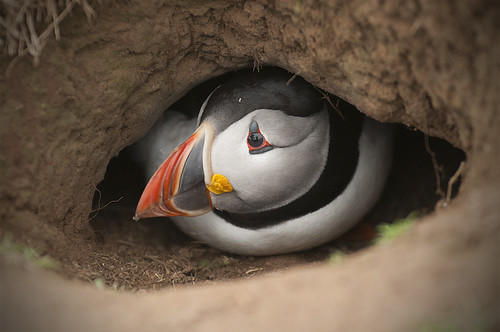 Puffin Burrow | by Clear Inner Vision