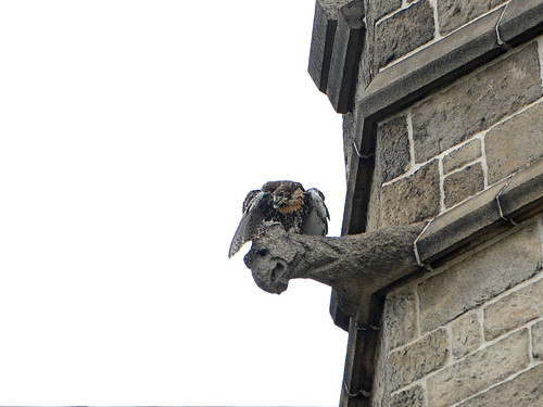 Cathedral RT Fledge 1 - 9298