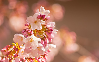 Pink Glow on White Blossom's | by Orbmiser