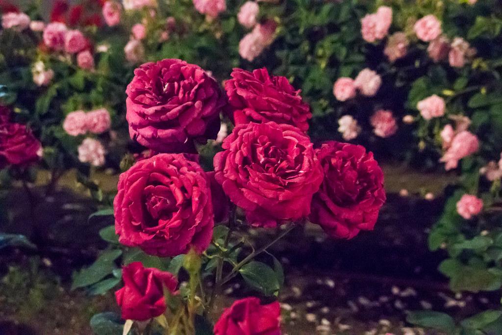 160514_03_nakanoshima_rose2016_028