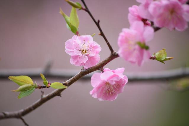 ume blossoms 5