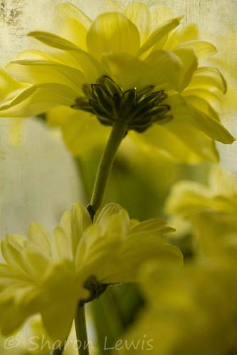 Yellow flowers | by clementslewis