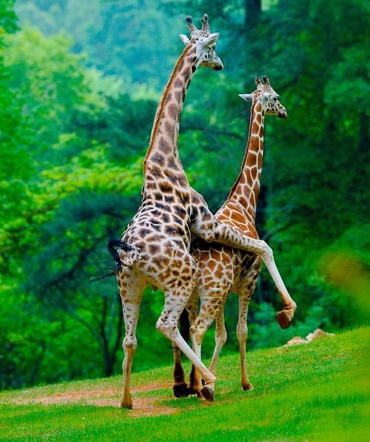 Giraffe_12