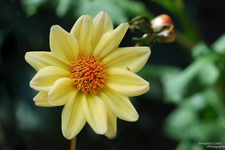 yellow dahlia | by angelicacarlos10