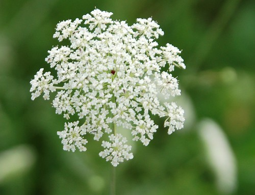 Queen Anne's Lace | by nor certitude