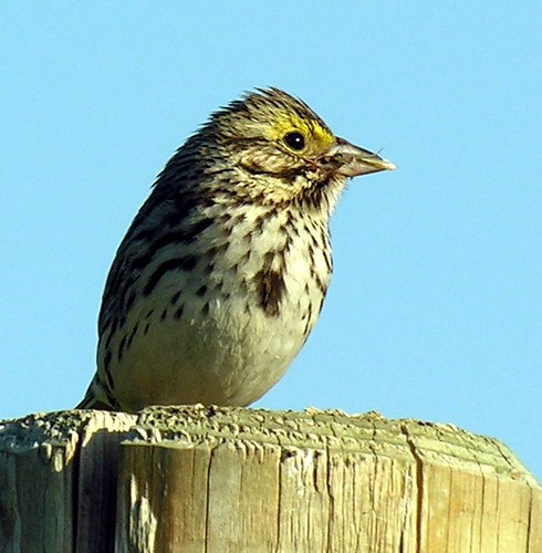 Savannah Sparrows