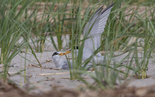 Male Least Tern delivering a fish.