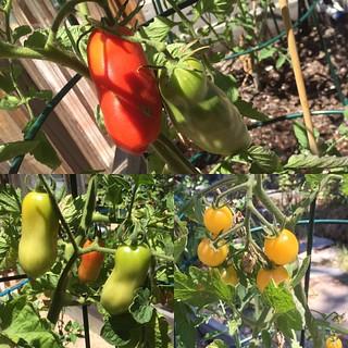 #tomatoes #sohardtowait #gardensbounty