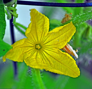 cuke flower | by danilchakrich