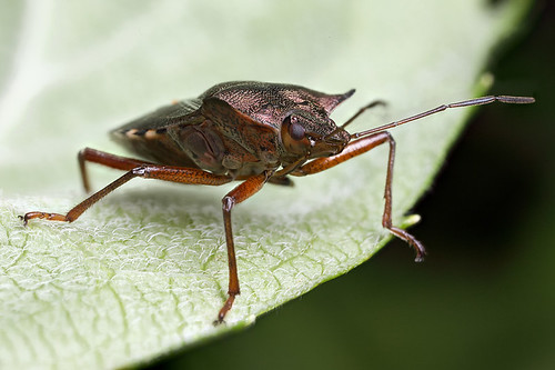 Shieldbug - Pentatoma rufipes #4 | by Lord V