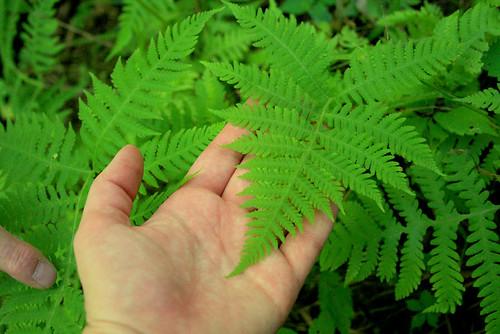 Exploring summer ferns