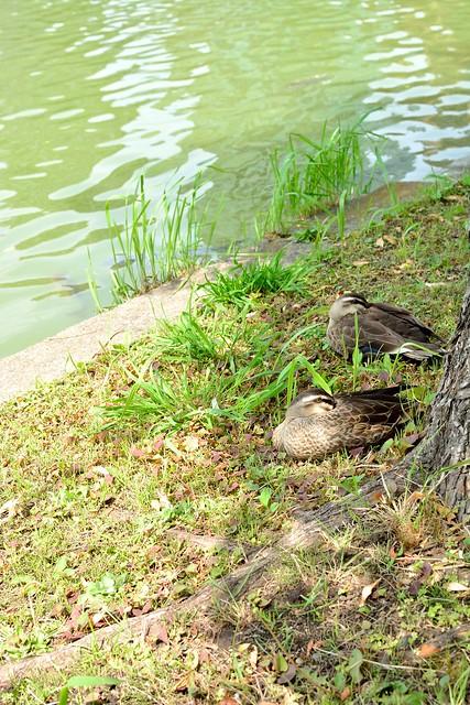 上野公園_カモ