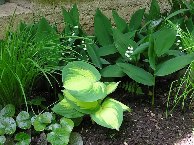 Hosta 'Geat Expetations'