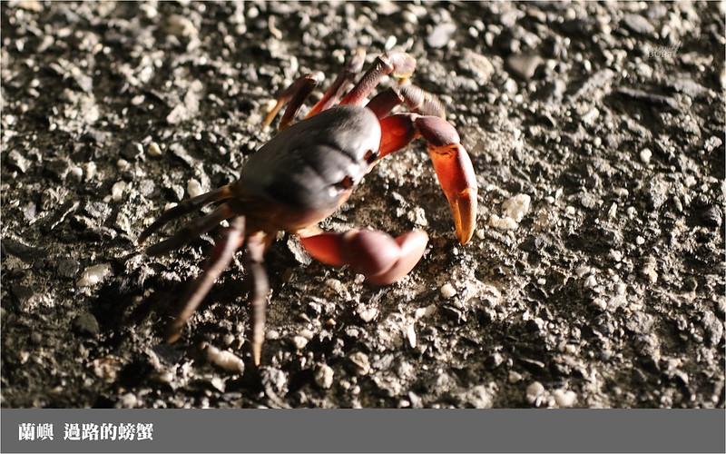 蘭嶼_過路的螃蟹