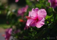 Hibiscus 1961