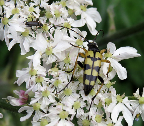 Rutpela maculata Tophill Low NR, East Yorkshire June 2016
