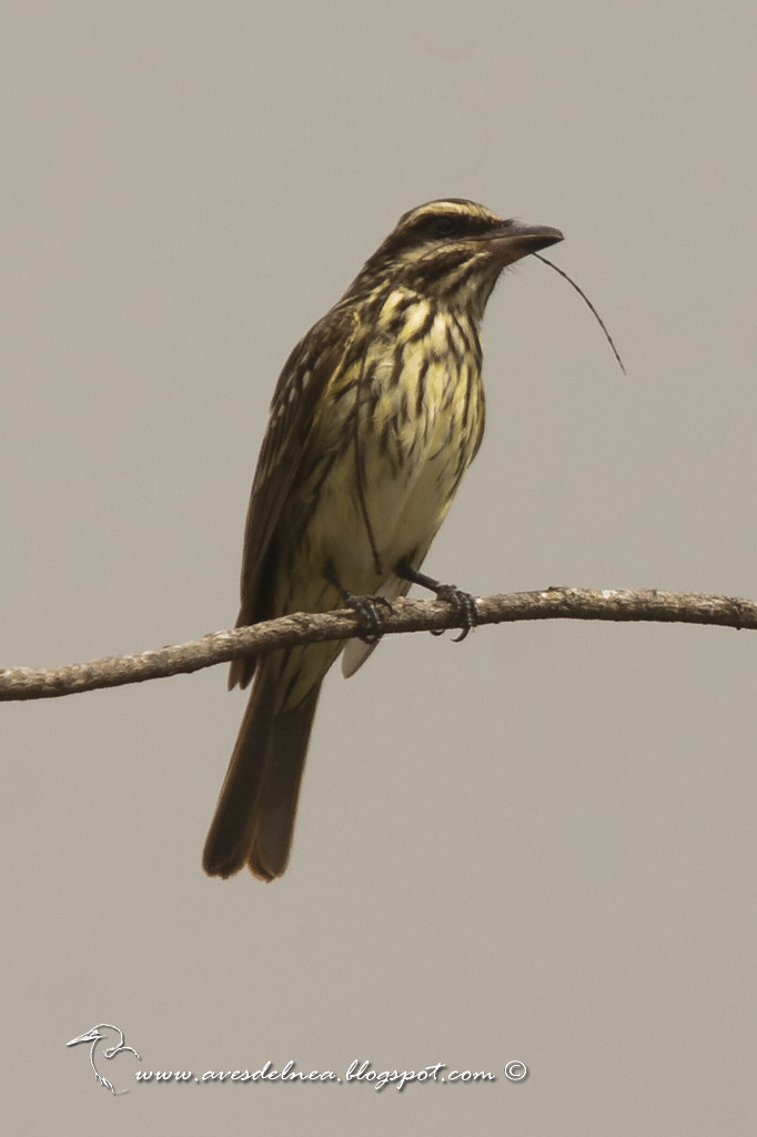 Benteveo rayado (Streaked Flycatcher) Myiodynastes maculatus