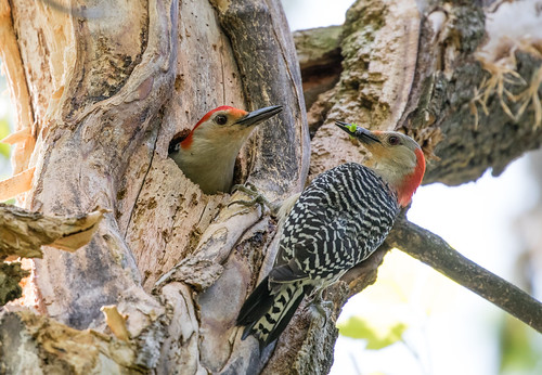 Nesting Red-bellied Woodpeckers