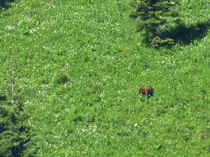 Black bear in a wildflower meadow
