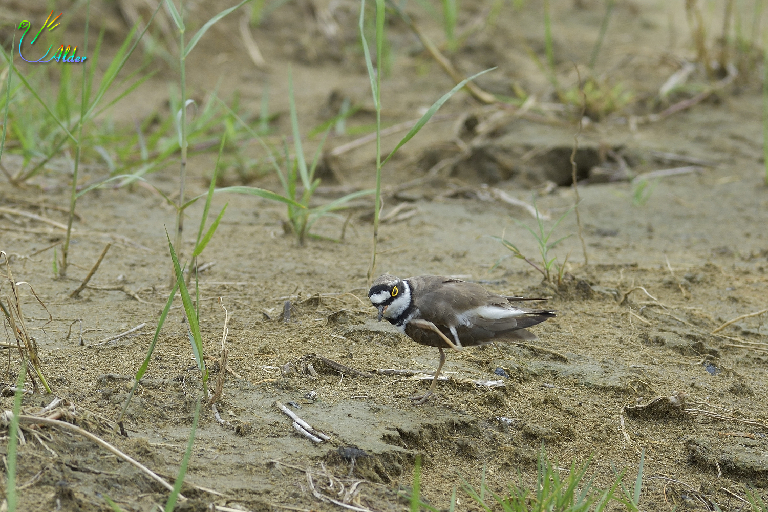 Little_Ringed_Plover_0563