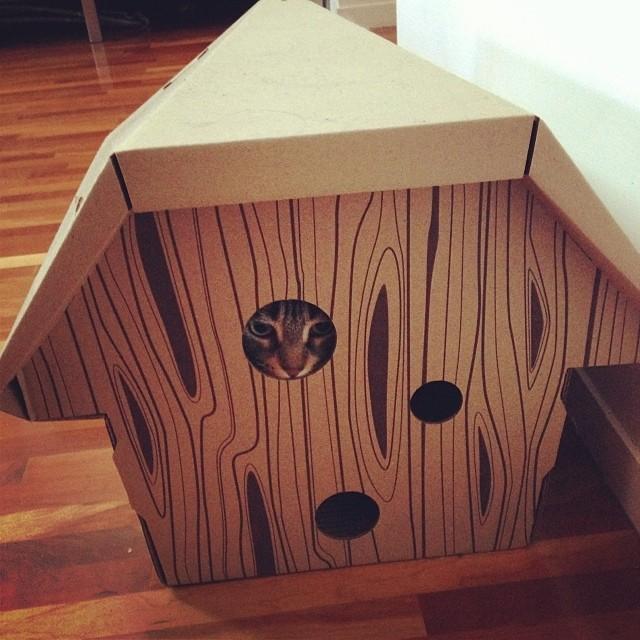 Milli peeking out of her cardboard #cabin #cat