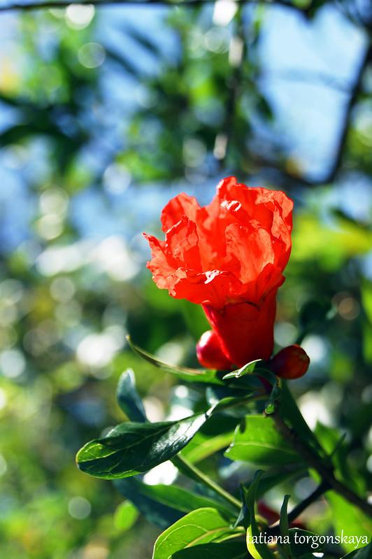 Цветок граната