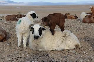Mongolian new livestock