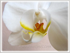 The pureness of White Phalaenopsis Orchid cv. aphrodite (Moth Orchid), shot on 30th Jan. 2015