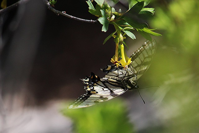Swallowtail on Golden Currant