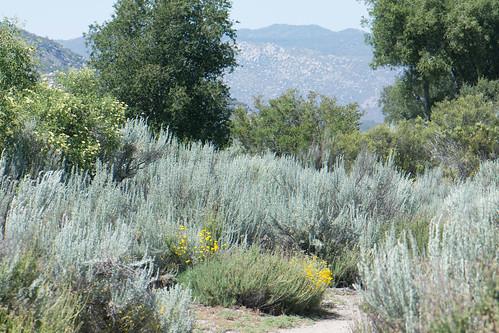 Sagebrush, Oaks, Buckwheat, Elder, and Golden Yarrow