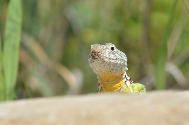 Eastern Collared Lizard #07 mm