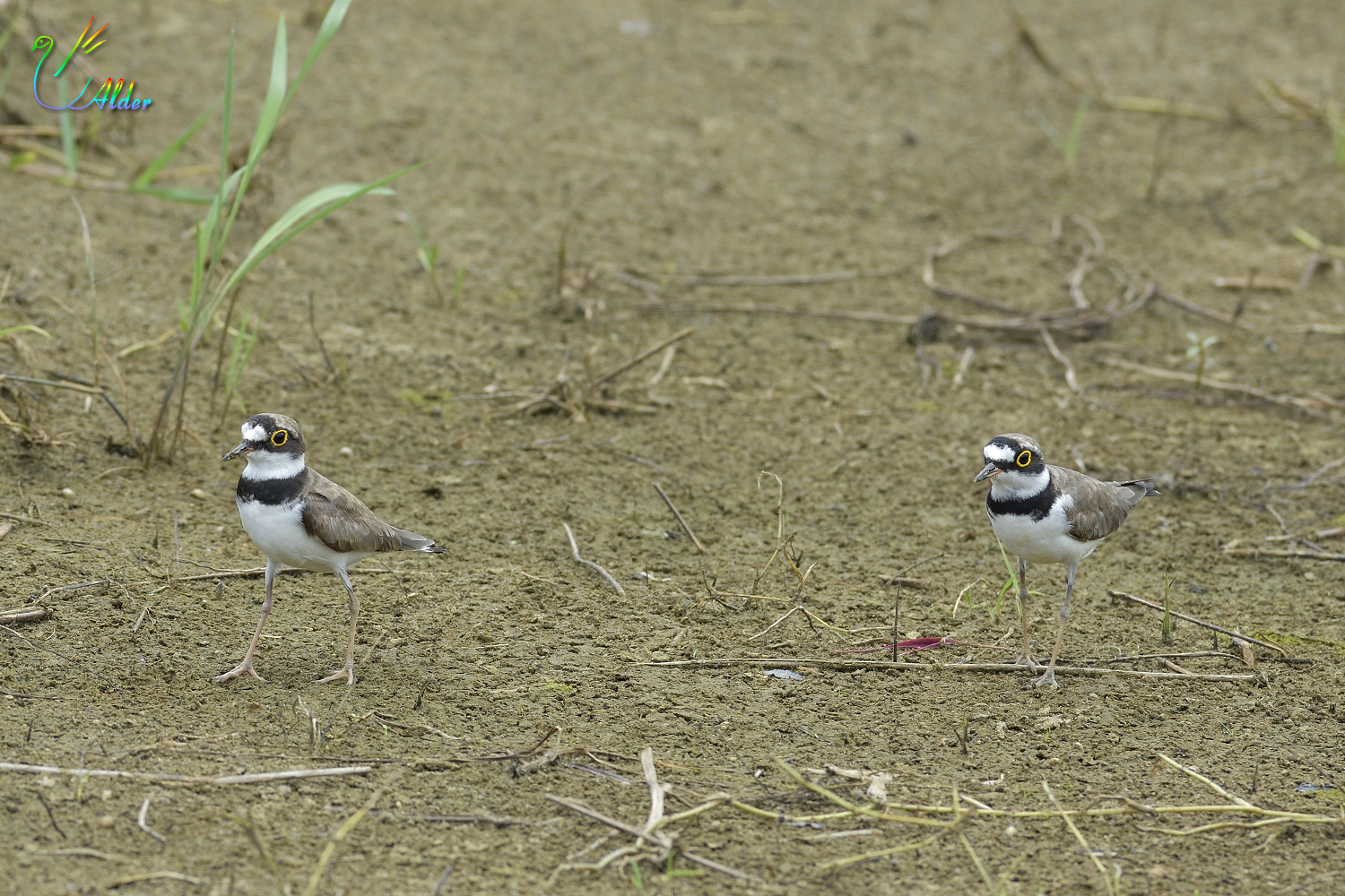 Little_Ringed_Plover_0589