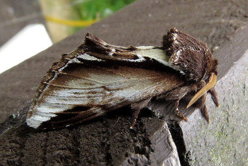 Lesser Swallow Prominent Pheosia gnoma Tophill Low NR, East Yorkshire May 2016
