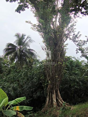 Pohon Arahiwang