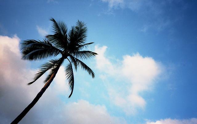 Samui Palm