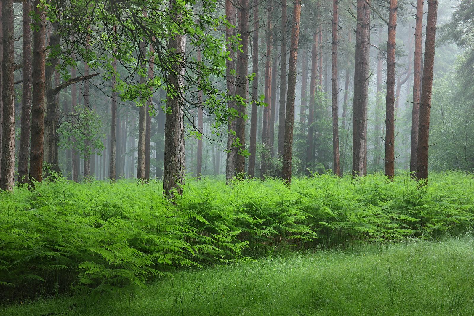 Misty High Weald Forest