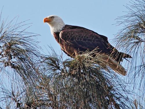 Bald Eagle male 20140201