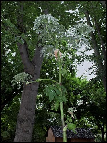 Heracleum mantegazzianum (4)