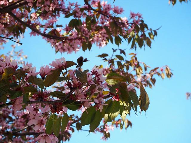 candytreesP5125122,candygirlcherrytreepark2P5125066, cherry park, helsinki, suomi, finland, roihuvuori, kirsikkapuisto, cherry tree park, kirsikkapuu puisto, blossom, kukinta, sakura, itä-helsinki, east helsinki, lovely, ihana, green, pink, vihreä, pinkki, sun, aurinko, flowers, kukat, blossom, kukinta, may, toukokuu, kevät, spring, vaaleanpunainen, takki, coat, light pink, pale pink, cherry blossom girl, kirsikankukka tyttö, nature, luonto,