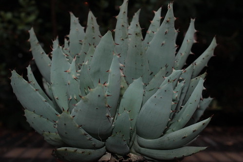 Aloe peglerae 27508080774_f712592c91