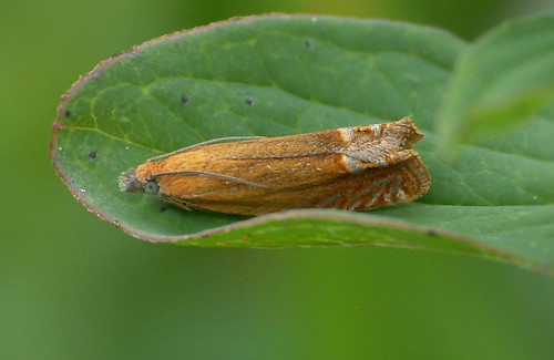 Lathronympha strigana Tophill Low NR, East Yorkshire June 2016