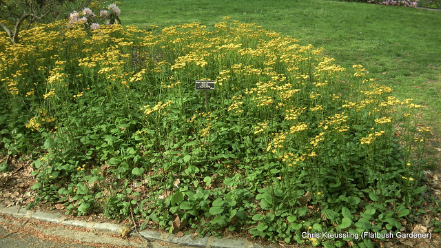 Packera aurea (Senecio aureus), Heart-Leaved Groundsel