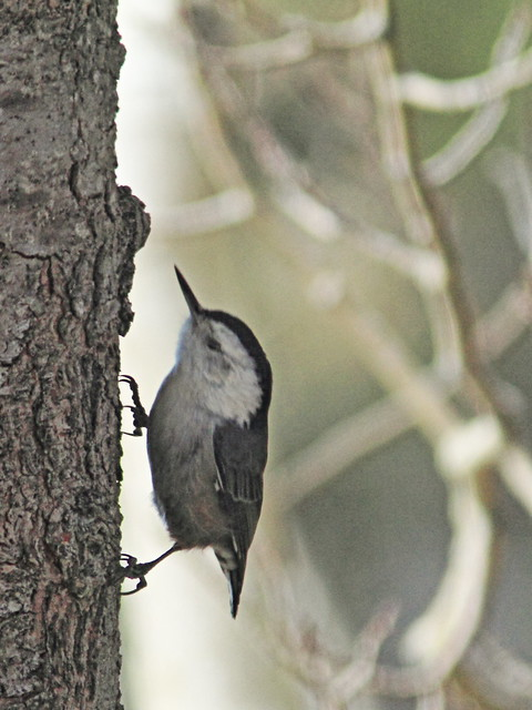 White-breasted Nuthatch 20131104